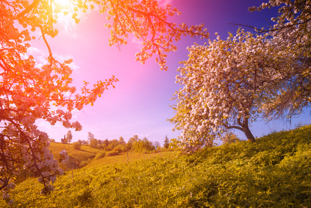 countryside landscape: Flowering wild apples garden in a green Carpathian mountain valley. Majestic sunrise. Spring time Stock Photo