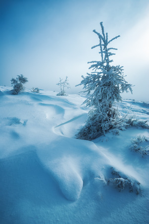 hoar: Fir trees covered with hoar frost in a carpathian mountains. Ukraine, Europe. Stock Photo