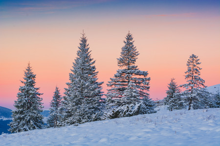 spruce: Spruce trees, covered with fresh snow in a carpathian mountain valley. Ukraine, Europe.