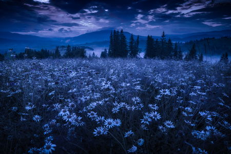 Many chamomile flowers on a meadow in a carpathian mountains under the night sky.