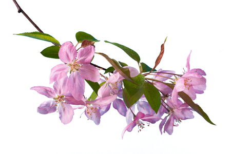 Pink apple flowers on a branch isolated on white background. 版權商用圖片