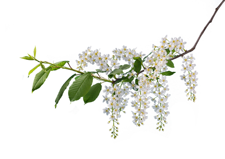 Branch of bird cherry with flowers isolated on white background.