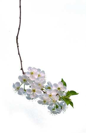 Branch of cherry with flowers isolated on white background.
