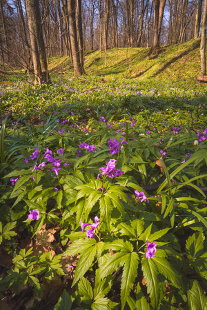 Fresh purple flowers in a spring forest.