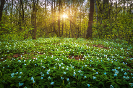 Majestic spring forest covered with white flowers in a sunset light.