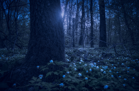 Anemona flowers in a spring forest at night.