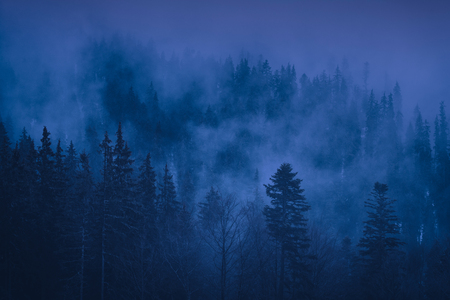 Misty carpathian spruce forest at night.