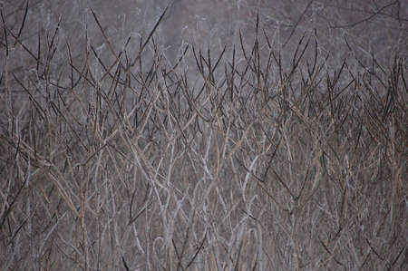 Close-up of frozen twigs. Stock Photo
