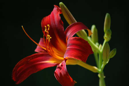daylily: Red Daylily with black background. Stock Photo