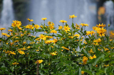 Yellow daisies in front of a fountain. Stock Photo