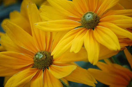 A close-up of two yellow daisies.