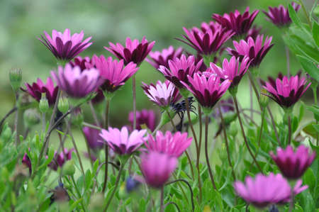 Osteospermums flowers.