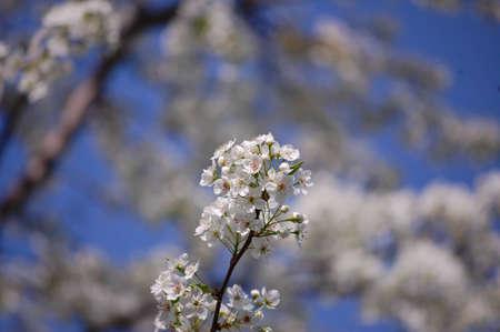 Flowering Pear Tree.
