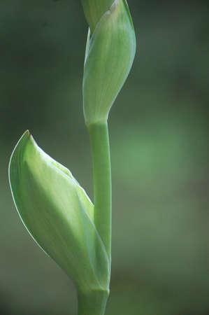 Blooming Bearded Iris  Stock Photo