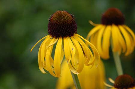 Yellow Coneflowers.