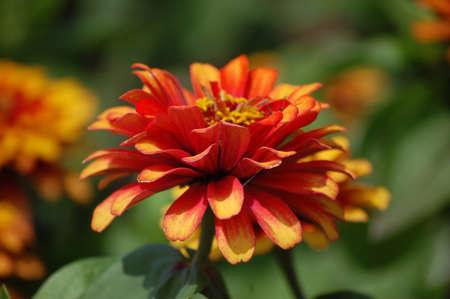 Orange Zinnia Stock Photo