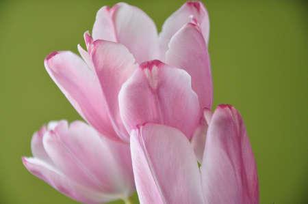 Pastel pink tulips.