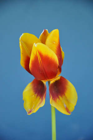 Single tulip with droopy leaves.