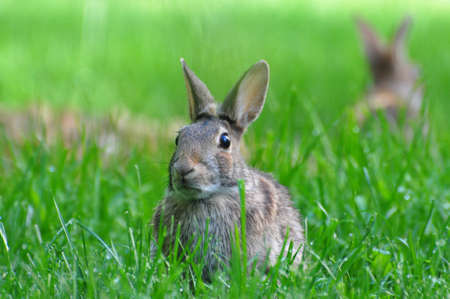 Two White Tailed Rabbits. Stock Photo