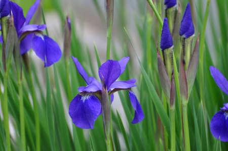 A grouping of wild purple Irises.