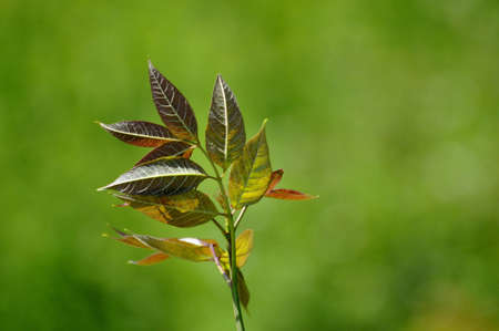 Reddish, green leaves against a green blurry background. Stock Photo