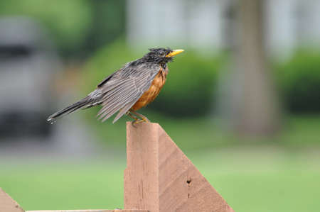 Wet Robin Red Breast Stock Photo