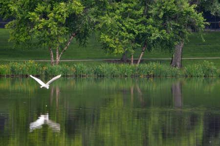 Egret flying over water.