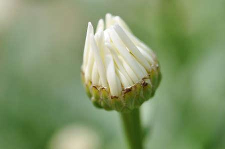 A single opening Daisy.