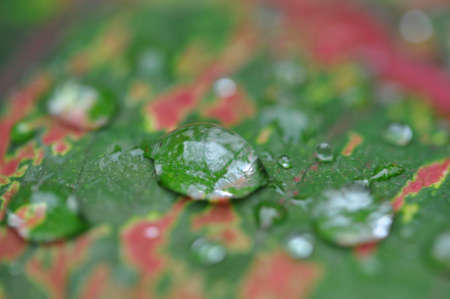 Macro water droplets on green and red leaf.