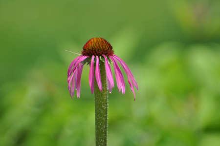Single purple Cone flower.