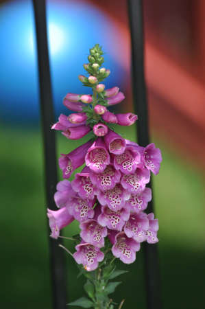purple foxglove against a colorful background.