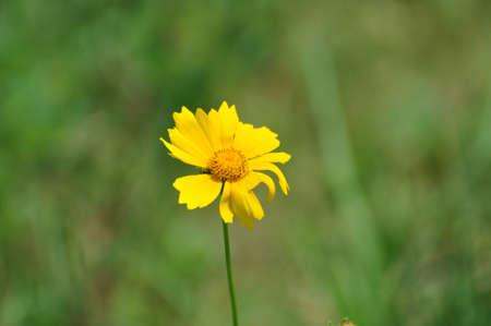 single yellow daisy.