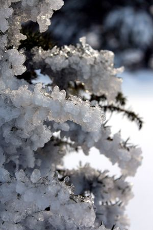 conifer: Ice covered branches conifer Stock Photo
