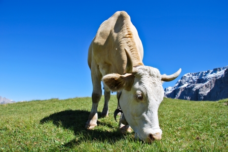 closeup cow face: a cow of dolomites