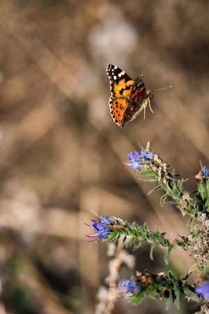 Gold Monarch butterfly fly near small blue flowers spring scene