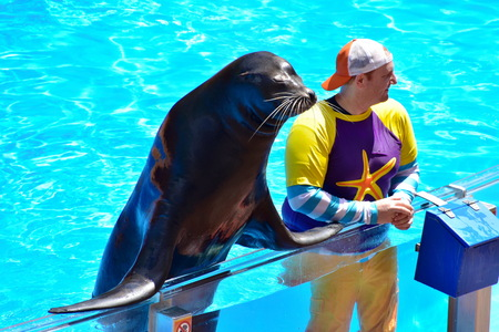 Orlando, Florida. September 09, 2018 Nice sea lion interacting with instructor in Seaworld Sea Lion Show. Editorial