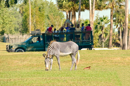 Tampa, Florida. October 25, 2018 Person playing giraffe in Serengeti Safari. In the foreground we see a nice zebra at Bush Gardens Tampa Bay.