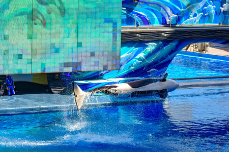 Orlando, Florida, January 01, 2019. Killer whale jumping on blue water in One ocean show at Seaworld Фото со стока - 122360792