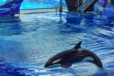 Orlando, Florida, January 01, 2019. Killer whale jumping on blue water in One Ocean show at Seaworld