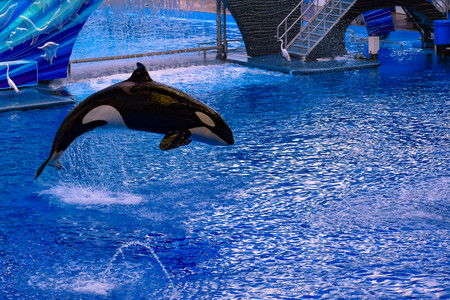 Orlando, Florida, January 01, 2019. Killer whale jumping on blue water in One ocean show at Seaworld Фото со стока - 122360795