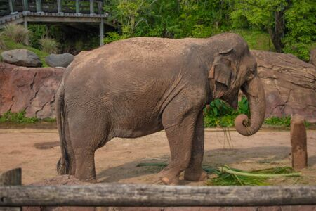 Tampa Bay, Florida. April 28, 2019. Nice Elephant eating a palm leaf at Busch Gardens (3)