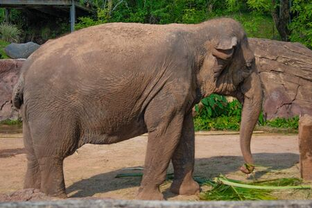 Tampa Bay, Florida. April 28, 2019. Nice Elephant eating a palm leaf at Busch Gardens (4) Editorial