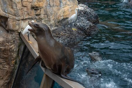 Orlando, Florida. June 17, 2019. Nice Sea lion waiting for a person to throw him fish at Seaworld 3