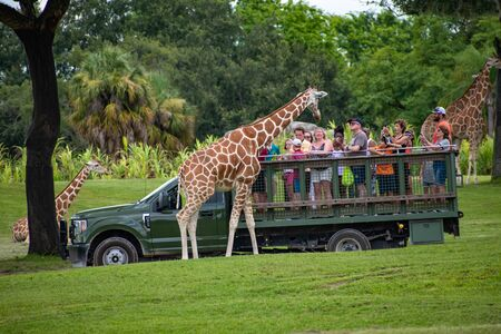 Tampa Bay, Florida. July 12, 2019. Giraffe waiting for lettuce leaves from people enjoying safari at Busch Gardens 1 Editorial