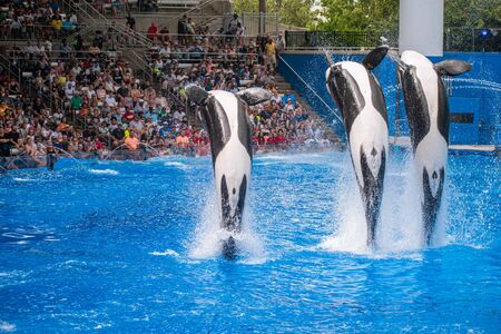 Orlando, Florida. July 18, 2019. Beautiful killer whales jumping in One Ocean show at Seaworld 1