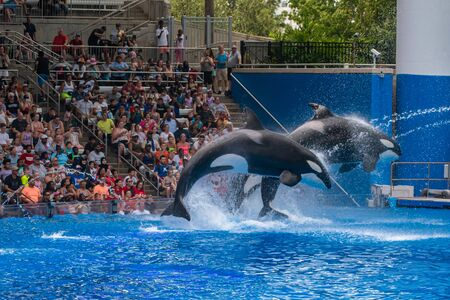 Orlando, Florida. July 18, 2019. Beautiful killer whales jumping in One Ocean show at Seaworld 7