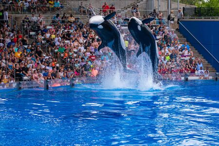 Orlando, Florida. July 18, 2019. Majestic killer whales jumping in One Ocean show at Seaworld 9