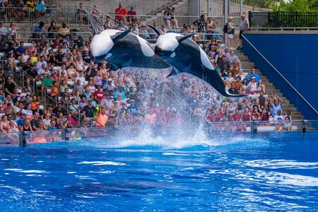 Orlando, Florida. July 18, 2019. Majestic killer whales jumping in One Ocean show at Seaworld 10