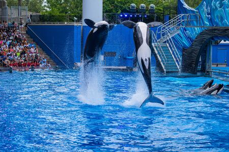 Orlando, Florida. July 18, 2019. Majestic killer whales jumping in One Ocean show at Seaworld 1 Stock Photo - 131498135