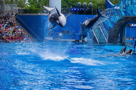 Orlando, Florida. July 18, 2019. Majestic killer whales jumping in One Ocean show at Seaworld 3